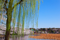 Young leaves and blue sky of cherry trees and willow in full bloom shine in lotus pond Stock photo [1914101] Landscape