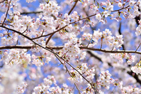 Sakura blue sky background Stock photo [1914383] Cherry