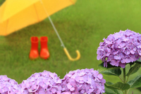 Hydrangea and umbrella and boots Stock photo [1916895] Rainy