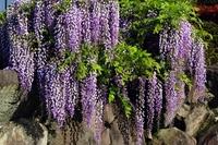 Ishigaki and wisteria Stock photo [1917905] Rattan