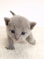 Up of kitten Russian Blue Stock photo [1918970] Kitten