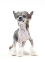 Chinese Crested Dog Stock photo [1920077] Chinese