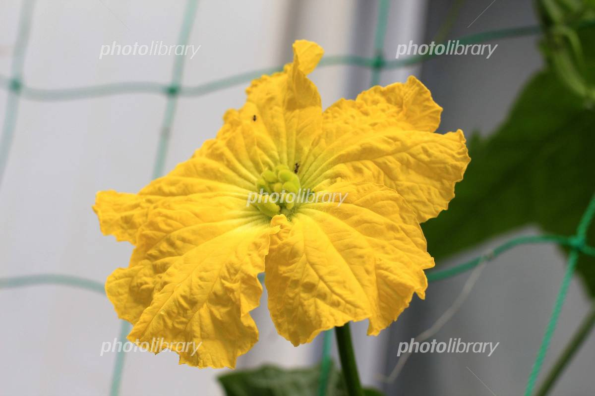Loofah flower Photo
