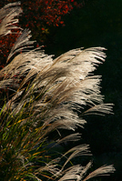 Japanese pampas grass Stock photo [2018886] Japanese