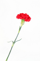 Red carnation of Mother's Day one wheel Stock photo [2019258] Carnation