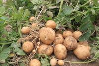 Digging fresh potatoes Stock photo [2021348] Potatoes