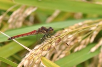 Red dragonfly to rest in rice Stock photo [2021329] Inaho