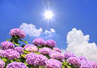Hydrangea and sun Stock photo [2023192] Hydrangea
