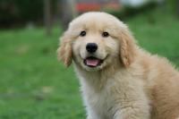 Golden puppy Stock photo [2025433] Golden