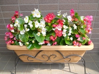 Begonia Stock photo [2027514] Begonia
