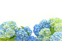 Hydrangea light blue Stock photo [2029267] Hydrangea