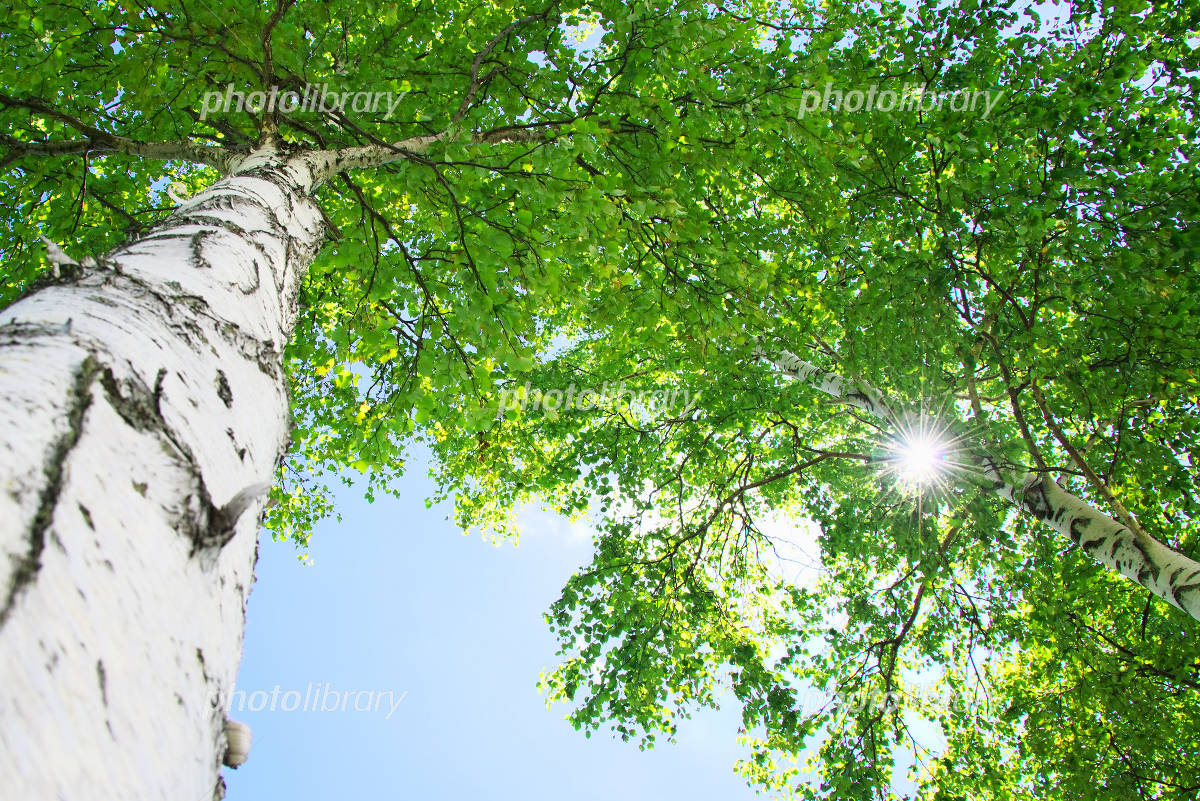 白樺の葉の間から洩れる木漏れ日...