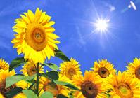 Sunflower Stock photo [2124531] Sunflower