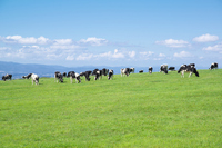 Cows that are grazing in Hokkaido Biei model ranch Stock photo [2125110] Ranch