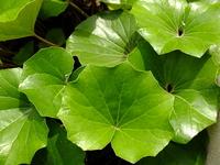 Leaves Farfugium japonicum Stock photo [2126573] Farfugium