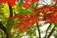 もみじ赤緑
