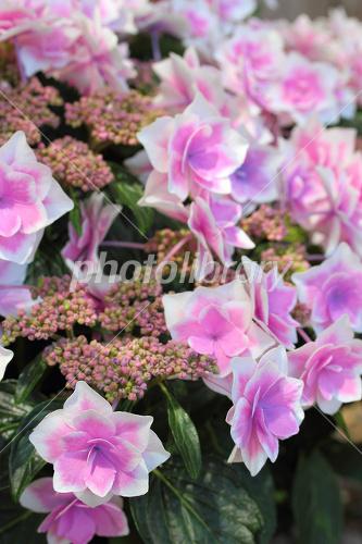 紫陽花 コンペ イトウ