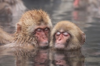 Monkey relax in hot springs Stock photo [2236869] Jigokudani