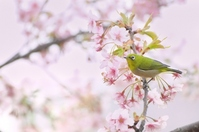 Japanese white-eye Kawazu Sakura Stock photo [2242194] White-eye