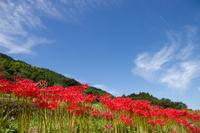 Amaryllidaceae and blue sky Stock photo [2242327] Lycoris