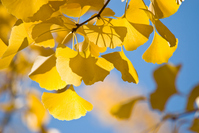 Blue sky and Ginkgo nuts Stock photo [2244104] Ginkgo