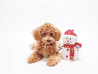 Toy Poodle and snowman Stock photo [2244476] Toy