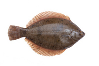 Marbled flounder Stock photo [2246694] Sole