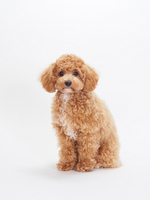 Sitting to Toy Poodle Stock photo [2248246] Toy