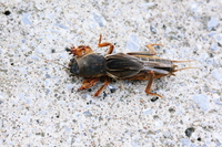 Mole cricket Stock photo [2361068] Mole