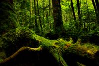 Forest of northern Yatsugatake of moss Stock photo [2362111] MOSS