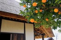 Hassaku and old houses Stock photo [2364431] Fruit