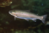 Rainbow trout Stock photo [2367320] Rainbow