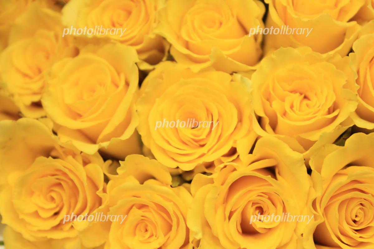 黄色い薔薇 写真素材 フォトライブラリー Photolibrary