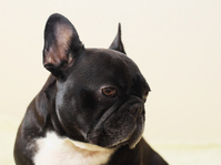and turned around was French Bulldog Stock photo [2485504] Bulldog