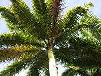 ルシンダのヤシの木