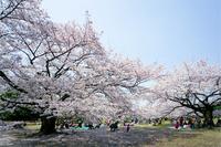 Cherry Blossom Stock photo [2488853] Cherry