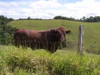 オーストラリアの牛 ドラウトマスター