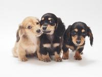 3 puppies of miniature Dachshund Miniature