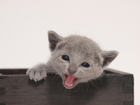 Kitten Russian Blue smile Stock photo [2492408] Russian
