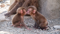 Kiss of small monkey couple Stock photo [2496454] Kiss