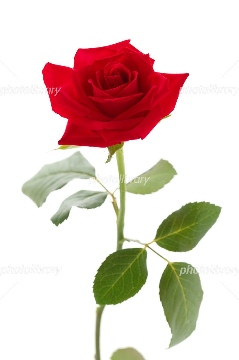 赤い薔薇 写真素材 フォトライブラリー Photolibrary