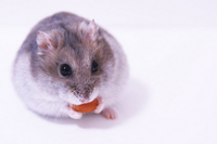 Blue Sapphire hamster Stock photo [2614393] Hamster