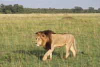Champion Lion Stock photo [2615410] Lion