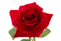 Roses Stock photo [2617181] Rose