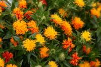 Bouquet of safflower Stock photo [2622019] Safflower