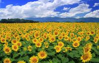 Sunflower field Stock photo [2700900] Sunflower