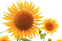 Sunflower Stock photo [2701217] Yamagata