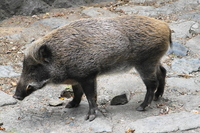 Wild boar Stock photo [2702055] Wild