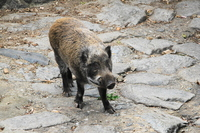 Wild boar Stock photo [2707656] Wild