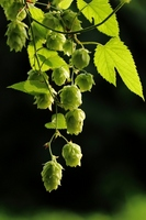 Hop Stock photo [2708450] Hop